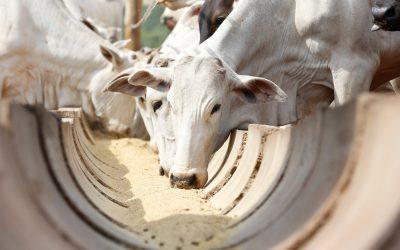 Desafios da alimentação bovina no Brasil