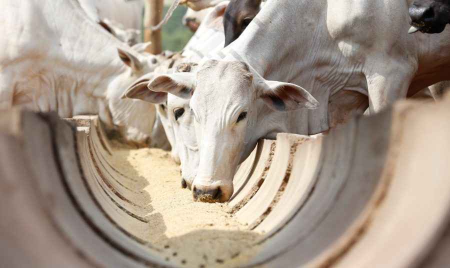 Alimentação bovina